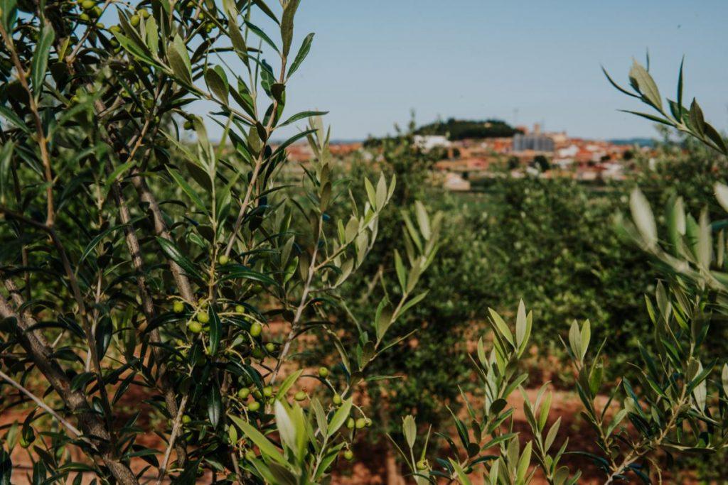 Campos de aceite de oliva en Arbeca